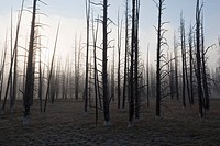 USA, Yellowstone Park, Dead trees in misty landscape