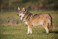 European wolf Canis lupus, side view
