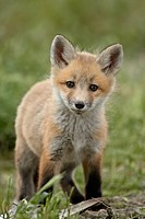 Red fox Vulpes vulpes Vulpes fulva pup, Bear River Migratory Bird Refuge, Utah, United States of America, North America