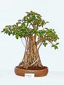 Australian Ficus Bonsai