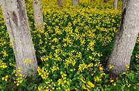 Blanket of yellow flowering wildflowers in a forest in Cape Breton Island Canada