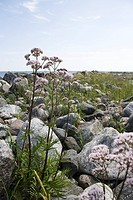 Valerian Valeriana officinalis growing near water´s edge