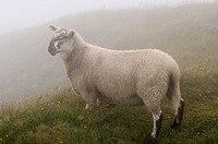 Young Scottish Blackfaced Sheep in fog at Cape St  Mary's Ecological Reserve Newfoundland
