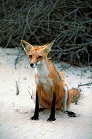 Fox, Outer Banks, North Carolina