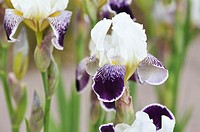 Tall bearded iris Iris barbata elatior ´Toelleturm´