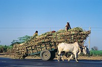 Bullock cart heavily loaded by sugarcane for factory , Dist Solapur , Maharashtra , India