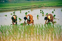 Lady planting in rice in paddy field , India