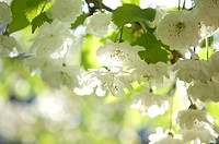 White apple flowers in spring sunlight