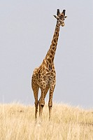 Giraffe walks across the Masai savanna in Kenya