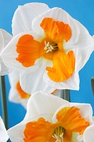 Narcissus 'Tricollet' Daffodil Div 11a Split-corona Collar Flowers on a blue background