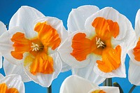 Narcissus 'Tricollet' Daffodil Div 11a Split-corona Collar Flowers with water drops on blue background