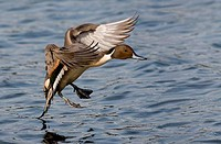 Pintail duck Anas acuta in flight