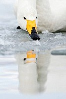 Close_up of a Whooper swan Cygnus cygnus foraging