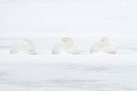 Whooper swans Cygnus cygnus in snow