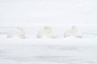 Whooper swans Cygnus cygnus in snow