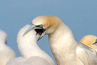 Gannet chick feeding regurgitated fish from mother Morus Bassanus Northern Gannet Saltee Islands Wexford Ireland Europe EU Eating like a gannet