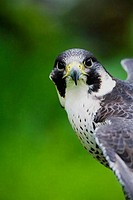 Peregrine Falcon Falco Peregrinus UK injured bird living in sanctuary at Wings Over Mull Scotland UK United Kingdom GB Great Britain British Isles Eur...