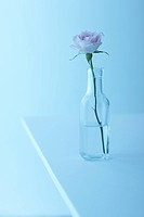 Single rose in glass bottle, blue background