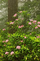 Rhododendrons in spring rainforest
