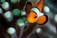 Highlights of Amphirion ocellaris, clown fish and anemone. Photographed in the sea of Malaysia