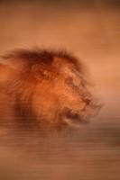 Male Lion Panthera leo, Okavango Delta, Botswana