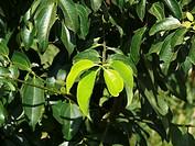 Plant of Tej Patta, Laurus nobilis L