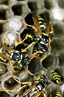 Paper Wasp Polidectes gallicus working on a nest. A colonial species creating stalked nests from masticated wood fibre. Although small, these wasps ca...