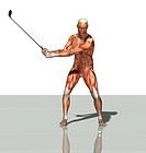 Male muscles. Computer artwork showing the muscle structure of a man playing golf. These are skeletal, or voluntary, muscles, which are under direct c...