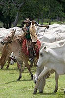 Peasant of Cowboy Playing Horn and Cortege of Cattle, Ox Bos taurus, Corumbá, Mato Grosso do Sul, Brazil