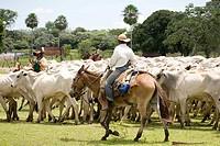 Cortege of Cattle, Peasant of Cowboy, Ox Bos taurus, Corumbá, Mato Grosso do Sul, Brazil