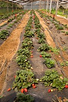 Cultivation of Strawberry in Nursery, Vacaria, Rio Grande do Sul, Brazil