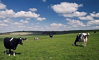 England, Wiltshire, Near Avebury, Cows grazing on the Wessex Ridgeway