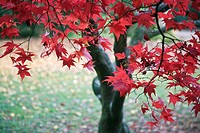 England, Gloucestershire, Westonbirt Arboretum, Beautiful red foliage of an Acer at the National Arboretum at Westonbirt in Autumn.