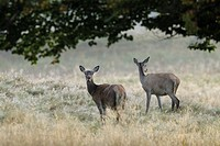 Red deer, Females, Cervus elaphus, Denmark