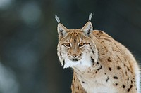 European lynx (Lynx lynx). Bavarian Forest National Park, Germany