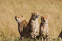 A cheetah mom & her 3 cubs on the plains of the Masai Mara