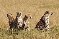 A cheetah mom &amp; her 3 cubs on the plains of the Masai Mara