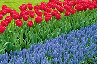 A bed of tulips in the tulip garden the Keukenhof at Lisse the Netherlands