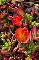 Moss rose Portulaca umbraticola