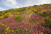 England, Somerset, Exmoor, Dramatic colours of Bell Heather Erica cinerea and Gorse Ulex europaeus in Exmoor National Park