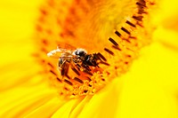 Germany, Bavaria, Honey bee Apis mellifera on sunflower Helianthus sp., close_up