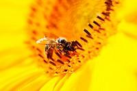 Germany, Bavaria, Honey bee Apis mellifera on sunflower Helianthus sp., close_up