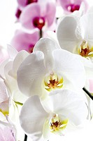 Orchid flowers, close_up