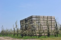 Orchard with cherry trees blossoming Prunus avium / Cerasus avium and piled up wooden crates for harvested fruit, Haspengouw, Belgium