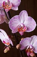 Moth Orchid hybrid, Phalaenopsis spp.