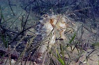 Spiny seahorse is well camouflaged in a sea grass habitat