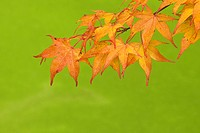 Orange maple leaves in autumn
