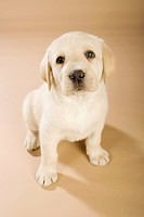 Labrador Retriever dog _ puppy _ sitting