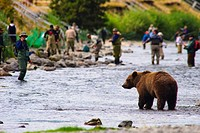 A Brown Bear fishing for salmon on the Russian River with fishermen in the background, Kenai Peninsula, Southcentral, Alaska