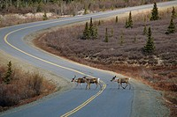 Caribou Crossing Road Denali NP Alaska IN Spring